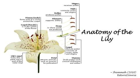 Lily - Anatomy