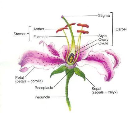 Lily Anatomy