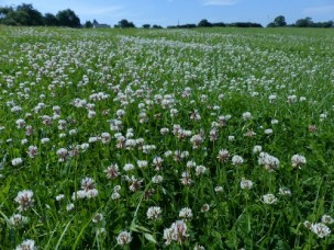 Clover and Fields