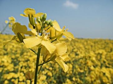 Mustard Seed Plant